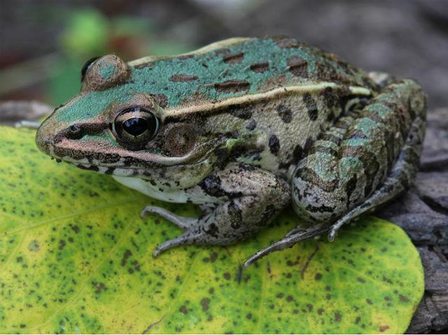 leopard frog_3177