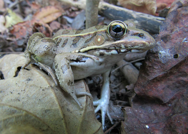 southern leopard frog_9007