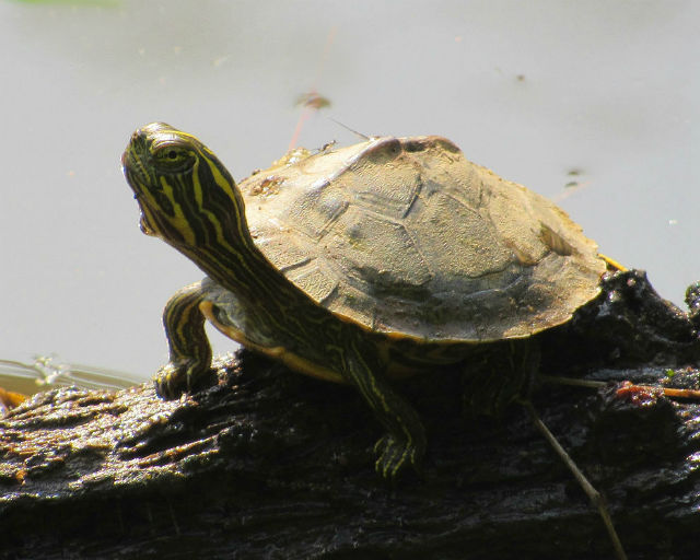 02 river cooter_5461