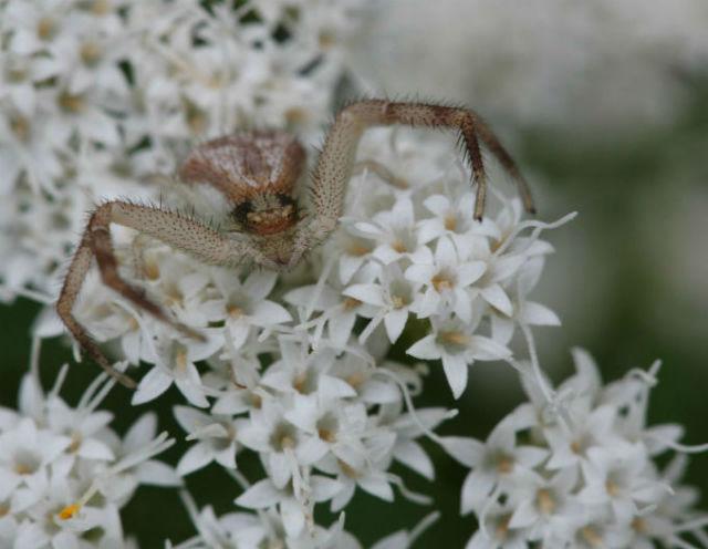 25 Crab Spider_3804