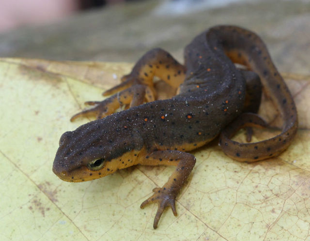 Central Newt_2963