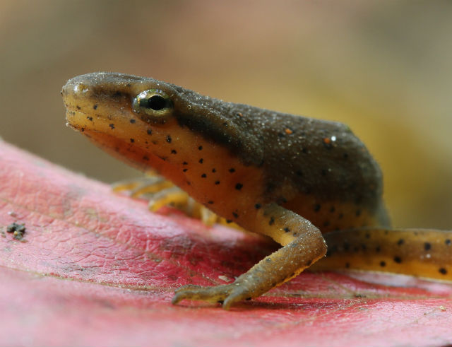 Central Newt_2971