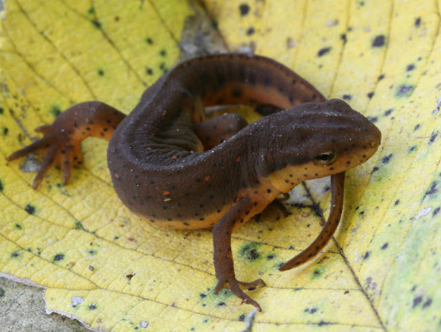 Central Newt_3695