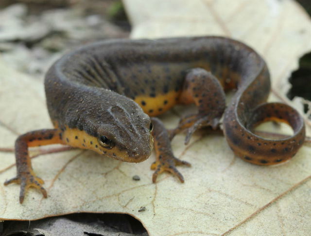 Central Newt_640