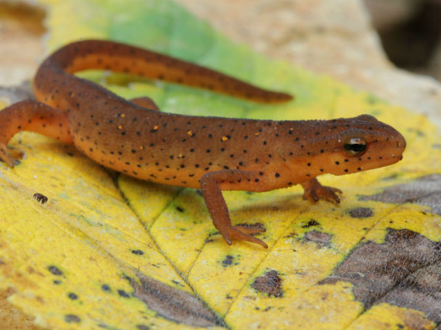 Central Newt_8084