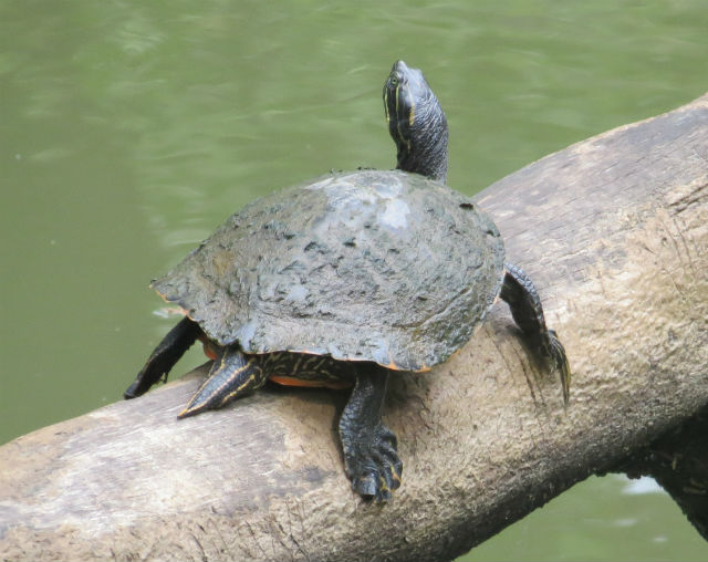 Eastern River Cooter_7770