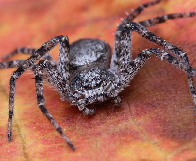crab spider_3756
