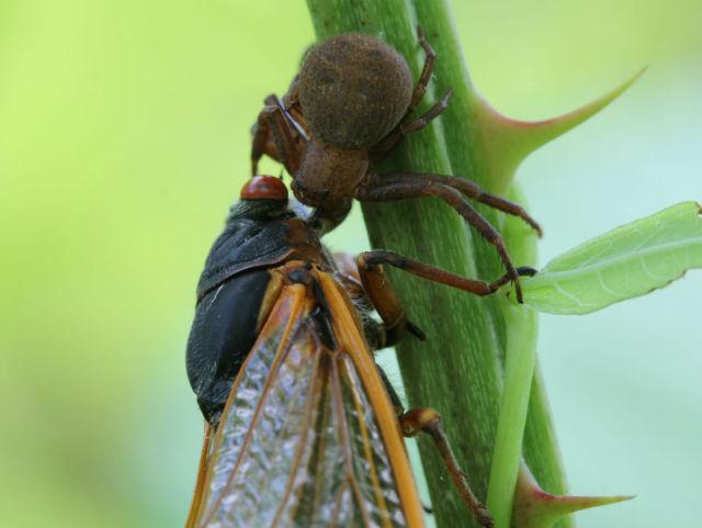 crab spider_6358