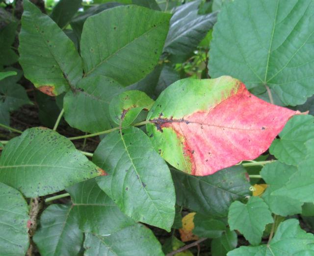 Poison Ivy_8446