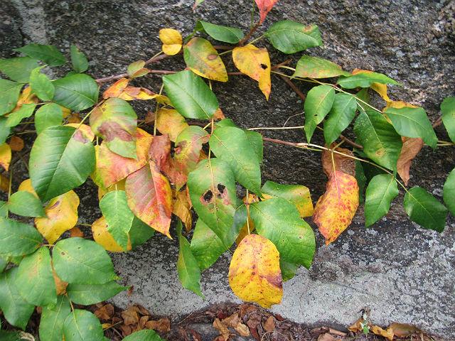 Poison Ivy_8448