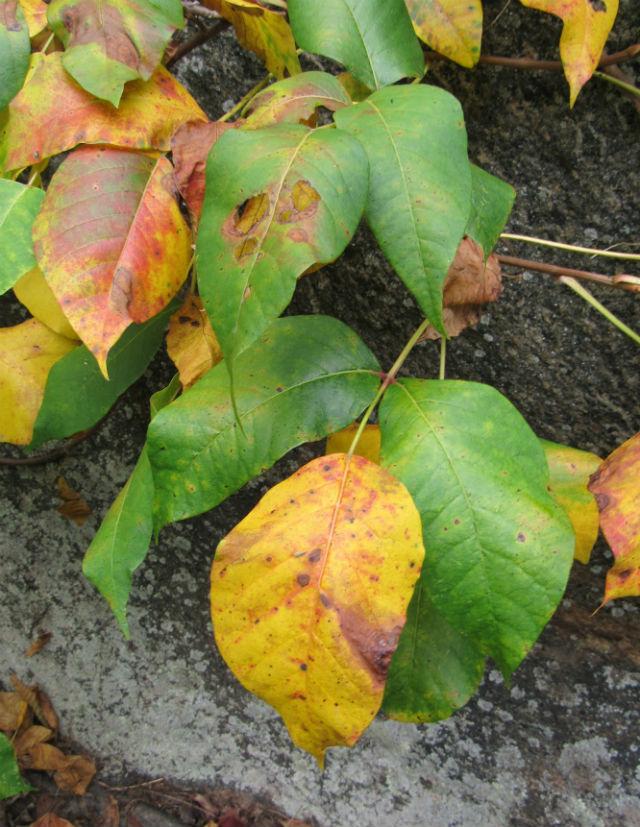 Poison Ivy_8449