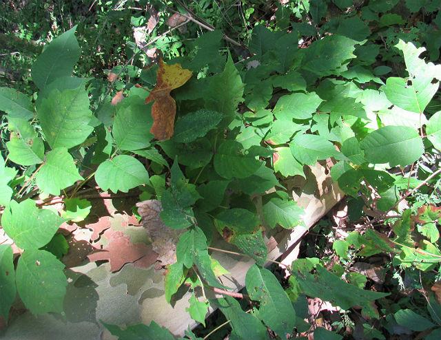 Poison Ivy_8689
