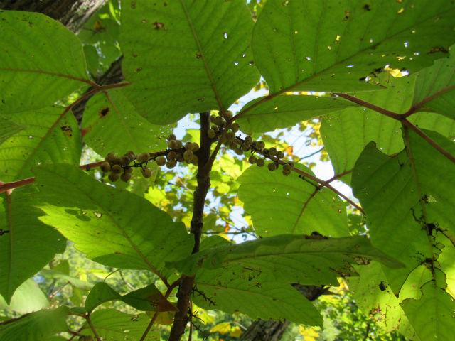 Poison Ivy_8762