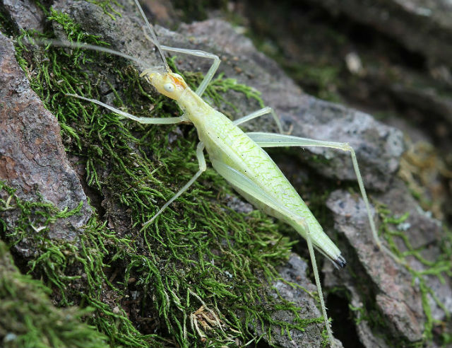 snowy tree cricket_3110