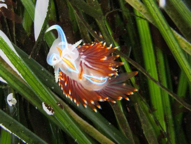 Opalescent Nudibranch_4084