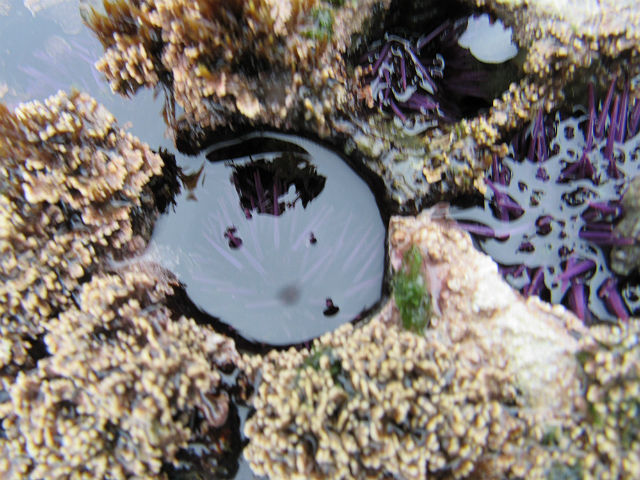Purple Sea Urchin_4123