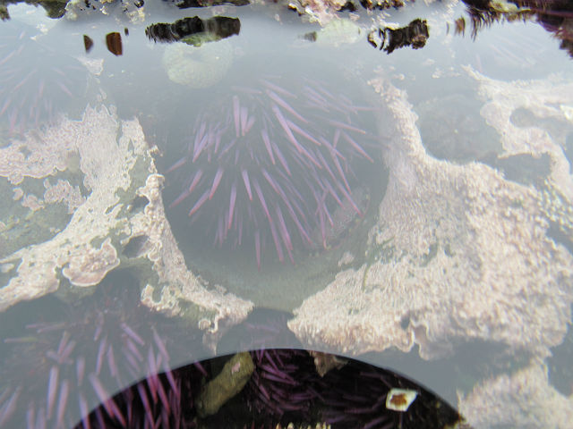 Purple Sea Urchin_4124