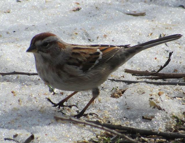 American Tree Sparrow4164