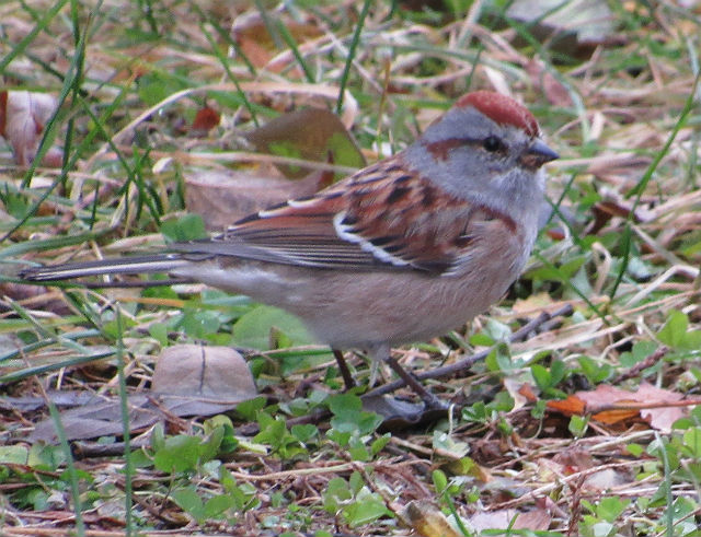 American Tree Sparrow_2527