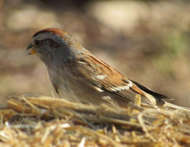 American Tree Sparrow_2847