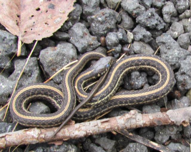 Plains Garter Snake_1850