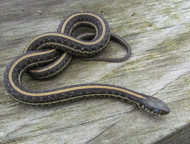 Plains Garter Snake_1852