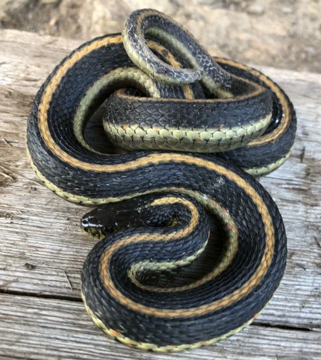 Diablo Range Garter Snake_0489