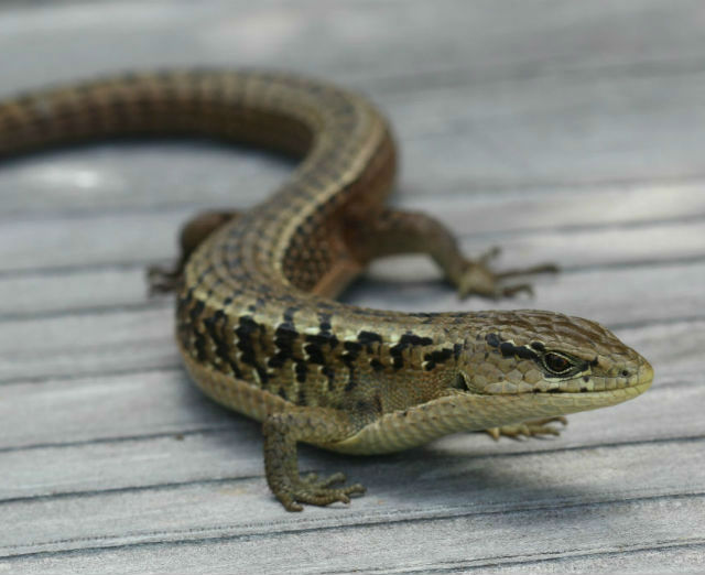 Northern Alligator Lizard_9372