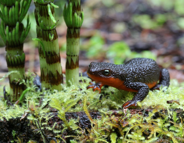 Rough-skinned Newt 148