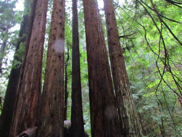 redwoods_2781