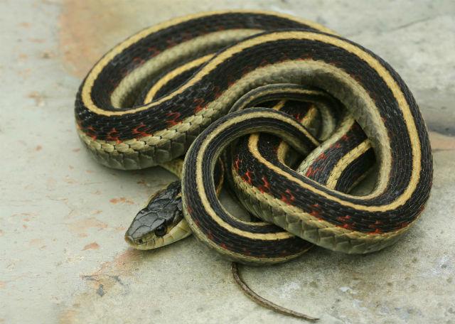 Valley Garter Snake 5D3_7497