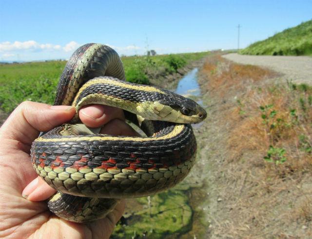 Valley Garter Snake_5478