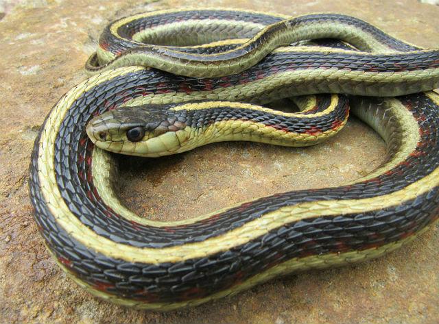Valley Garter Snake_5954