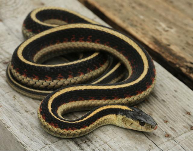 Valley Garter Snake_7488