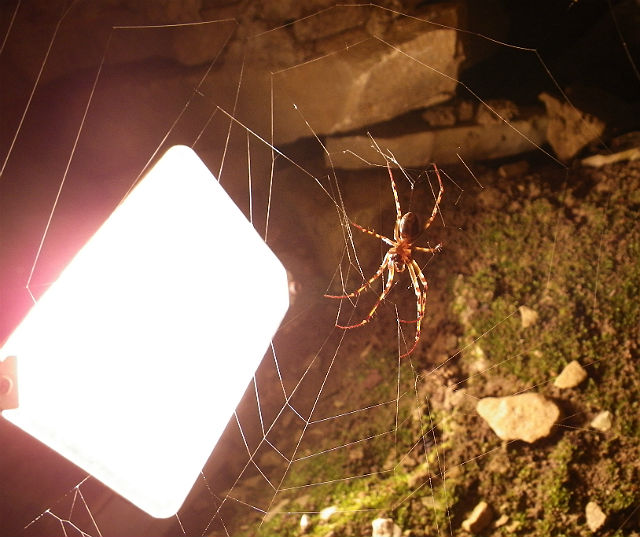 Cave Orb Weaver 121
