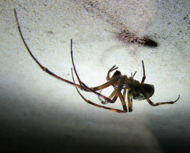 Cave Orb Weaver_3430