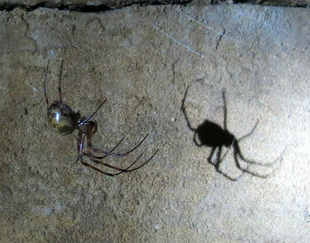 Cave Orb Weaver_3524