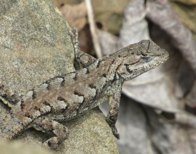 Eastern Fence Lizard_6370