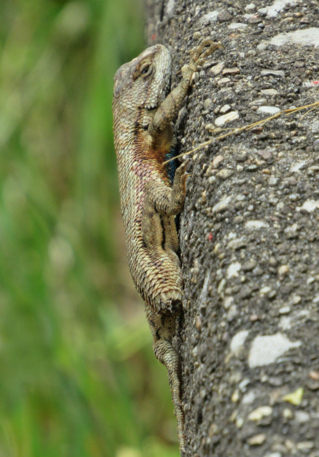 Eastern Fence Lizard_6376