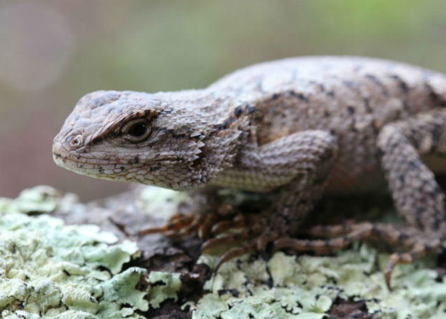 Eastern Fence Lizard_8988