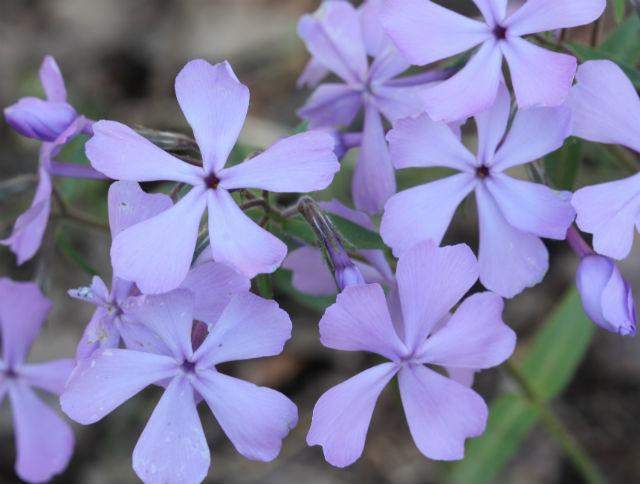 Wild Blue Phlox_9414