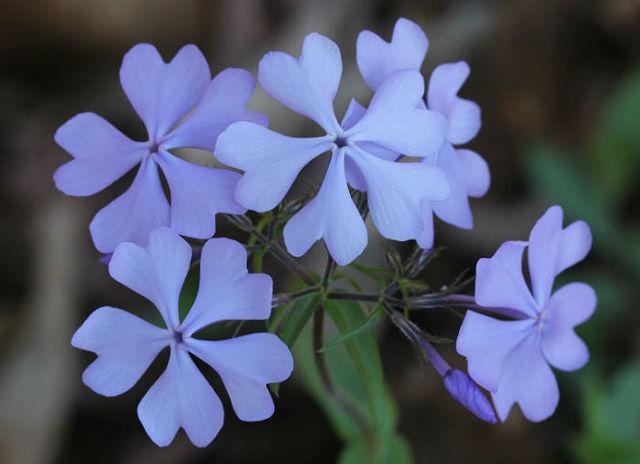 Wild Blue Phlox_9550