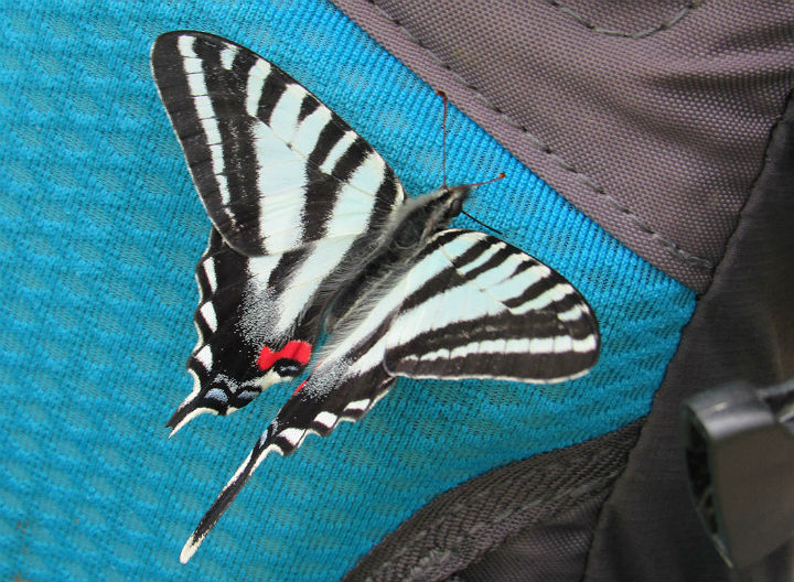 23 Zebra Swallowtail_6421