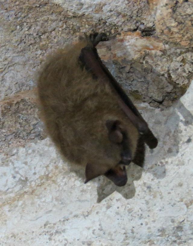 Indiana Bat 076