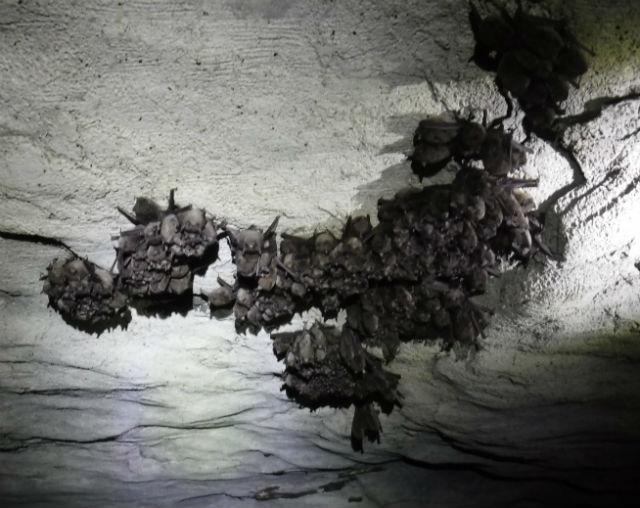 Indiana Bats_09512400