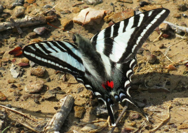 zebra swallowtail 279