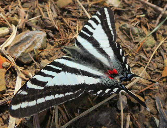 zebra swallowtail 303