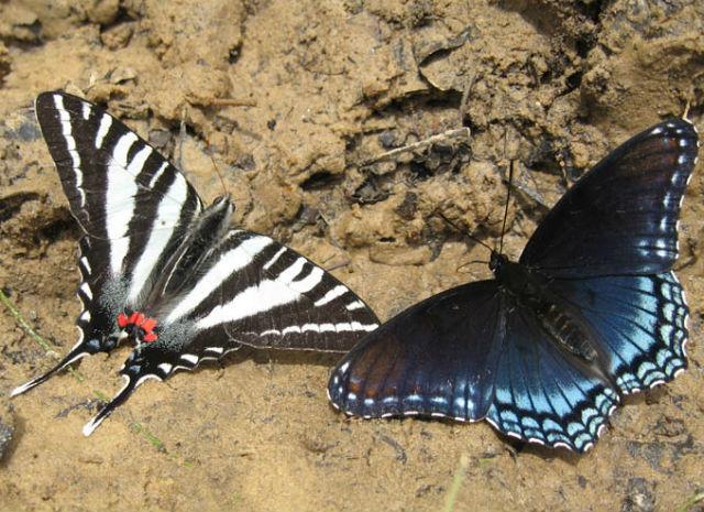 zebra swallowtail 654