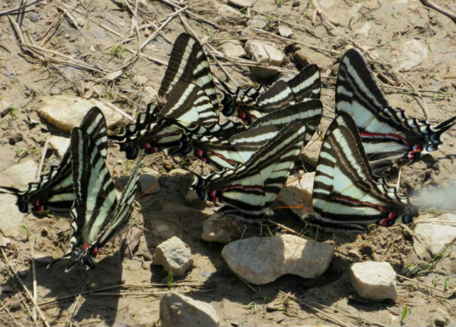 zebra swallowtails_3203