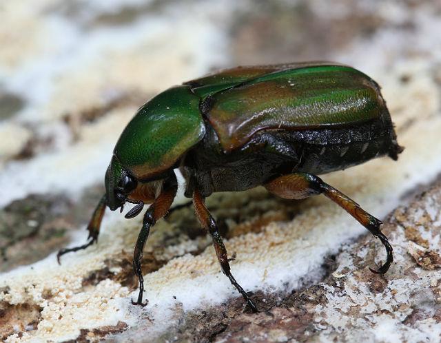 Green June Bug_0391